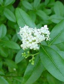 Fleur-troène-californie